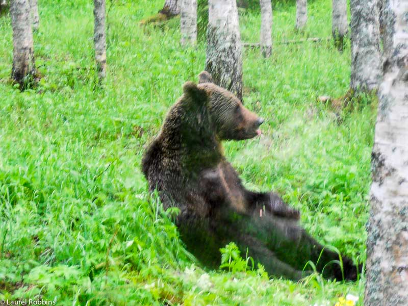 brown bear in Lentiira Finland. The brown bear is the national animal of Finland.