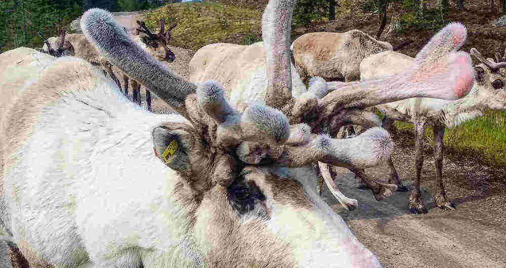 pictures of reindeer in Finland