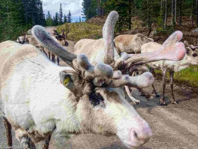 pictures of reindeer in Finland