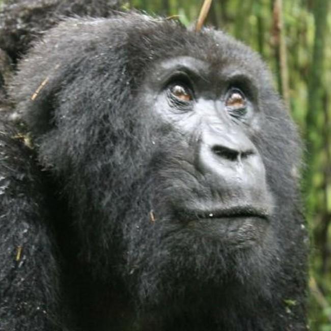 see mountain gorillas in Rwanda