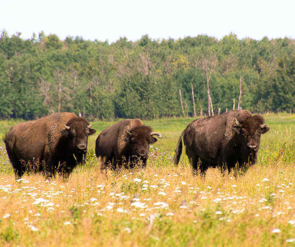 Elk Island National Park Wildlife