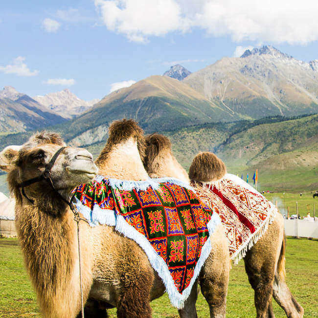 Fun Facts About Camels in Kyrgyzstan