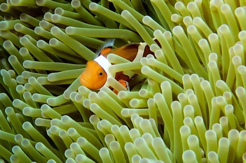 clown_fish_seen_while_diving_in_keramashoto_national_park_okinawa_japan