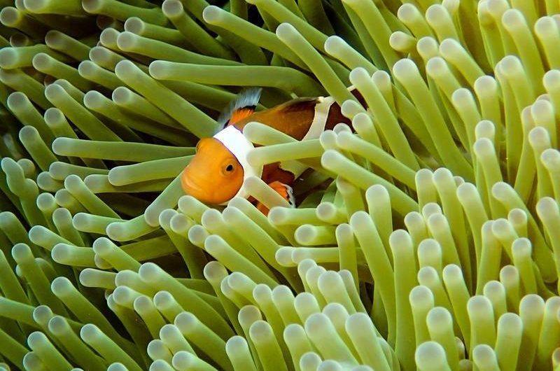 clown_fish_seen_while_diving_in_keramashoto_national_park_okinawa_japan