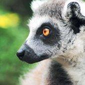 lemur_photo_1