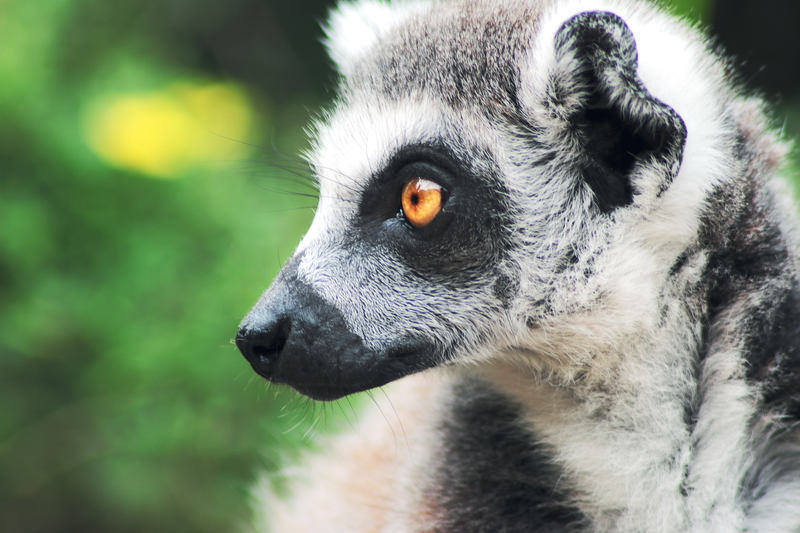 you can see lemurs in the wild on our Madagascar Ecotour