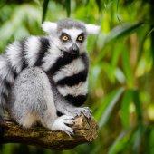lemur_photo_3