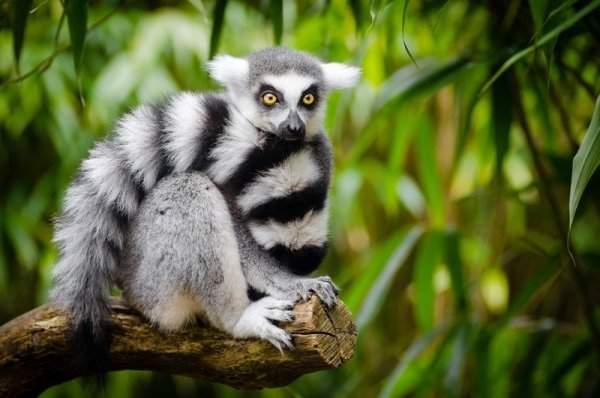 ring tailed lemurs are only found in Madagascar