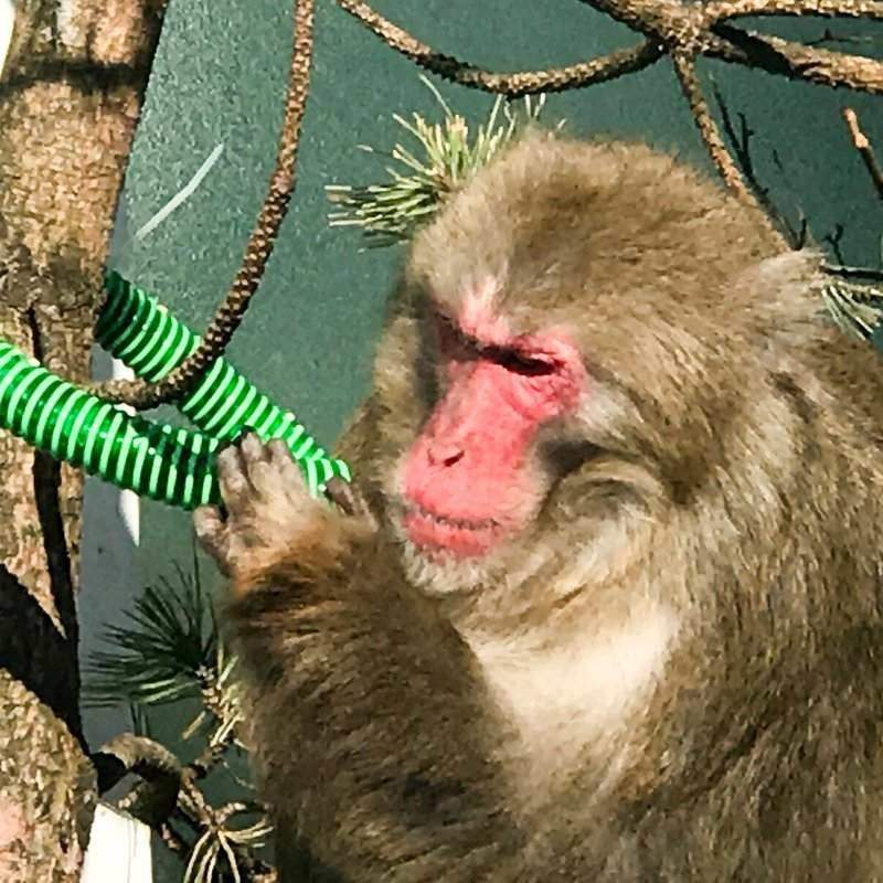 enrichment is important for captive primates where monkey business is encouraged