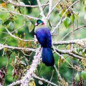 Nyungwe Forest turaco bird in Rwanda