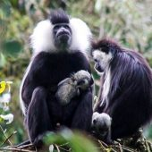 colobus monkeys in rwanda baby11