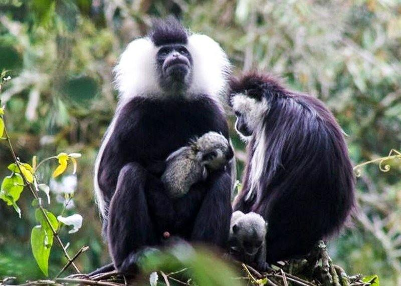 colobus monkeys in rwanda baby11