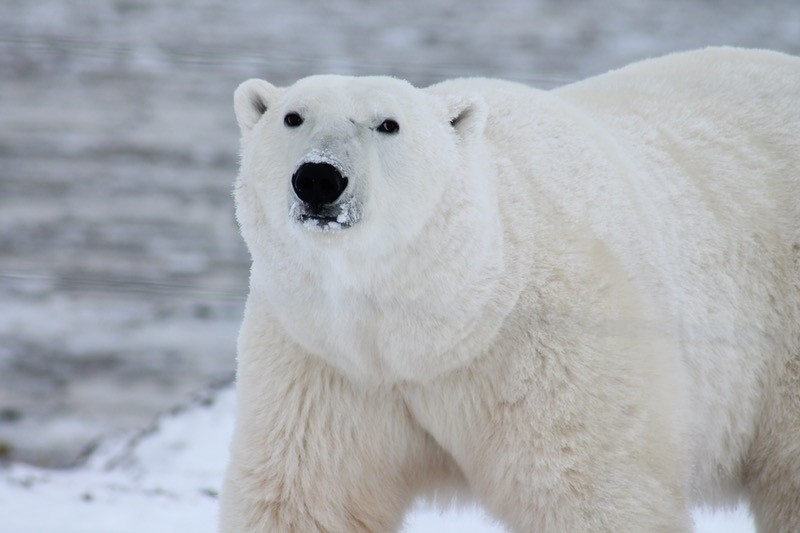 seeing a polar bear is a highlight for many travellers on this Arctic adventure
