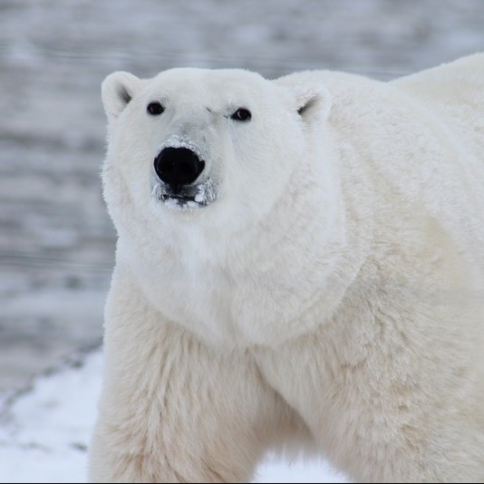polar bears, walruses, whales, icebergs and dramatic landscapes are highlights of this Arctic tour.