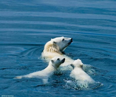 seeing polar bears is a highlight on the Arctic Safari Tour