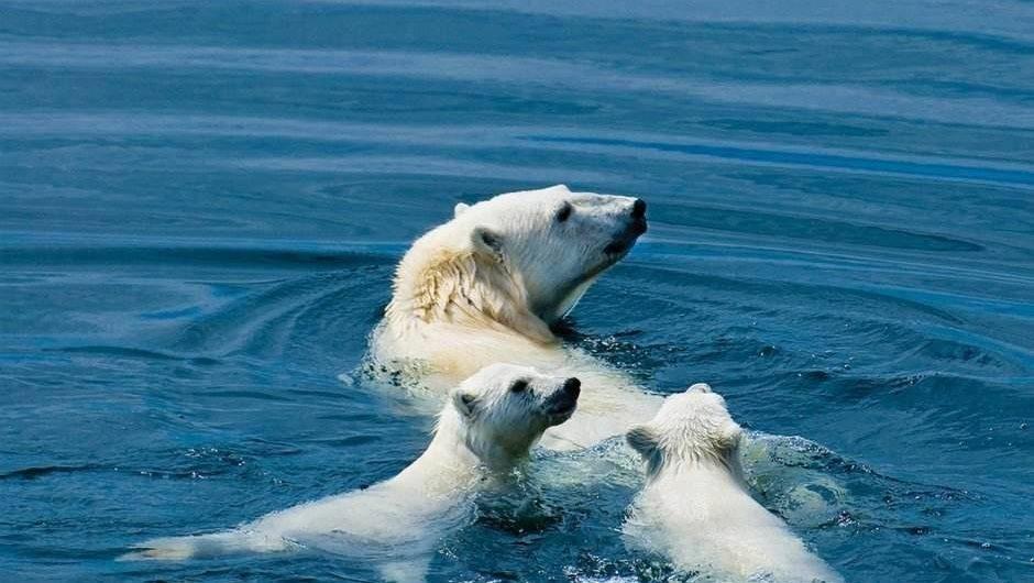 seeing polar bears is a highlight on the Arctic Safari Tour