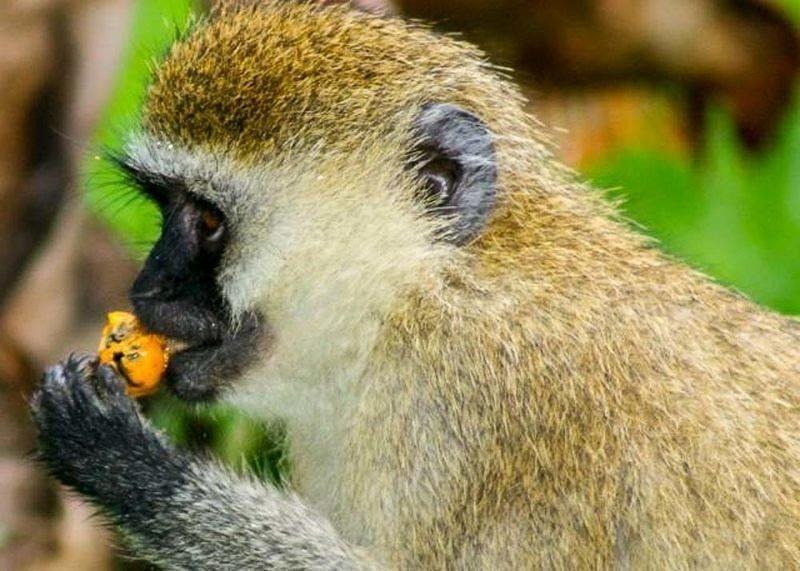 vervet_monkeys_in_rwanda