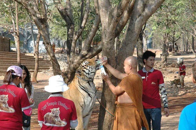 Tiger farms created for tourists cause the tigers an incredible amount of suffering.