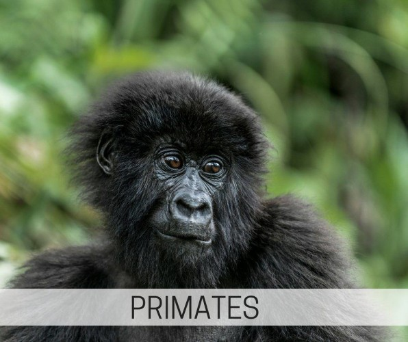 observe gorillas or lemurs in the wild on our primate tours, learn about macaque and marmoset enrichment for captive primates
