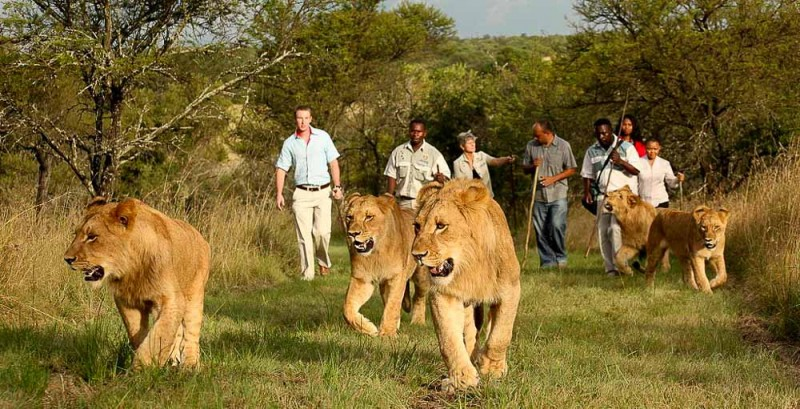 walking with lions is condemning lions to a life in cruel captivity or being sold for canned hunting, in other words it's animal cruelty