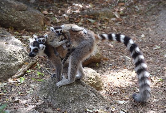ring-tailed lemur with twins