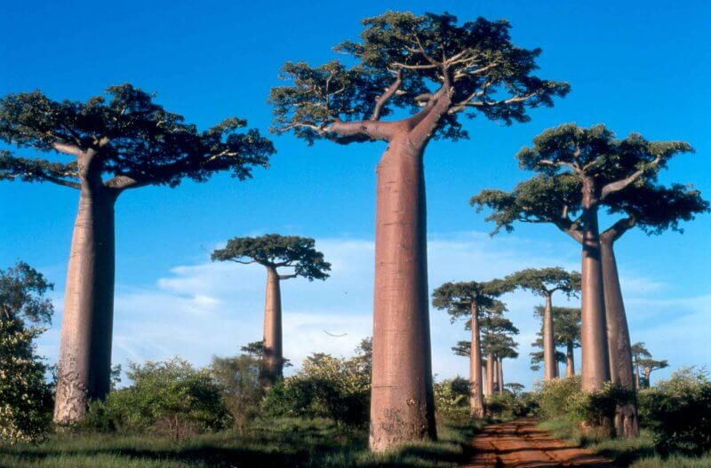 in Madagascar you'll find several different species of baobob trees