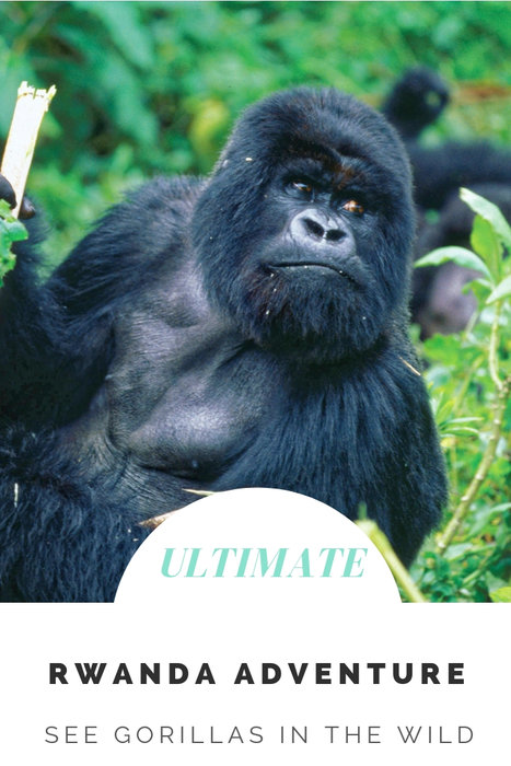 On your Rwanda adventure, you'll come face to face with Mountain gorillas and have the opportunity to observe the endangered Golden monkey and chimps.