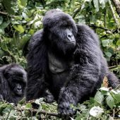 see gorillas in the wild on a custom Rwanda tour