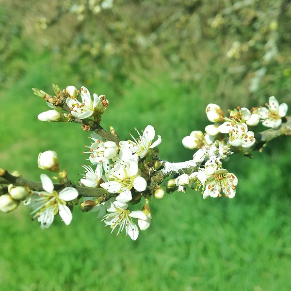 Blackthorn, is a wild food and a sacred tree of the Celts, in which you can make preserves from its fruit.