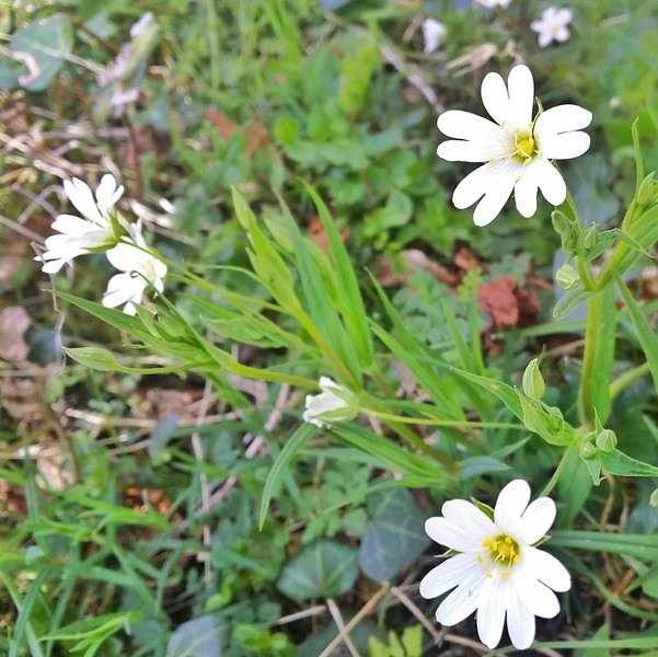 Stitchwort is a wild food that can be used to cure a side-stitch.