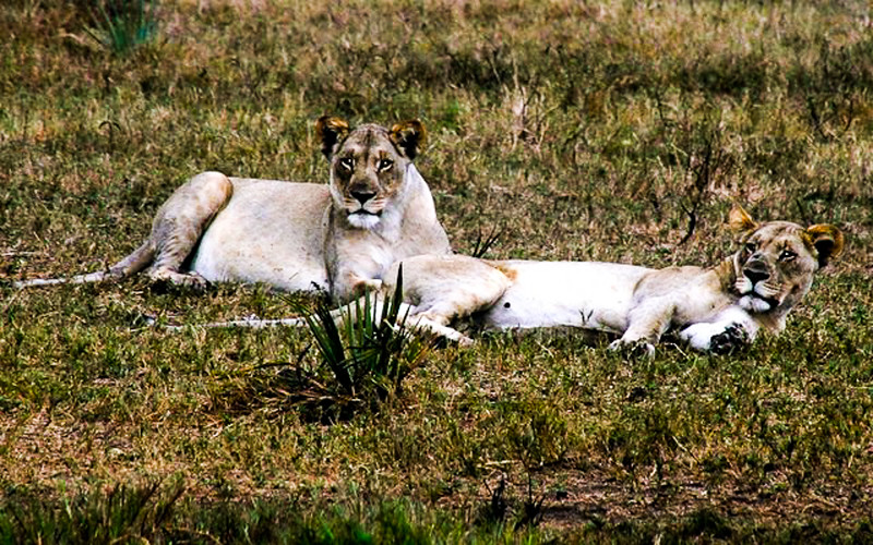 best places to visit in South Africa for wildlife: Tembe elephant park, where you can also see lions