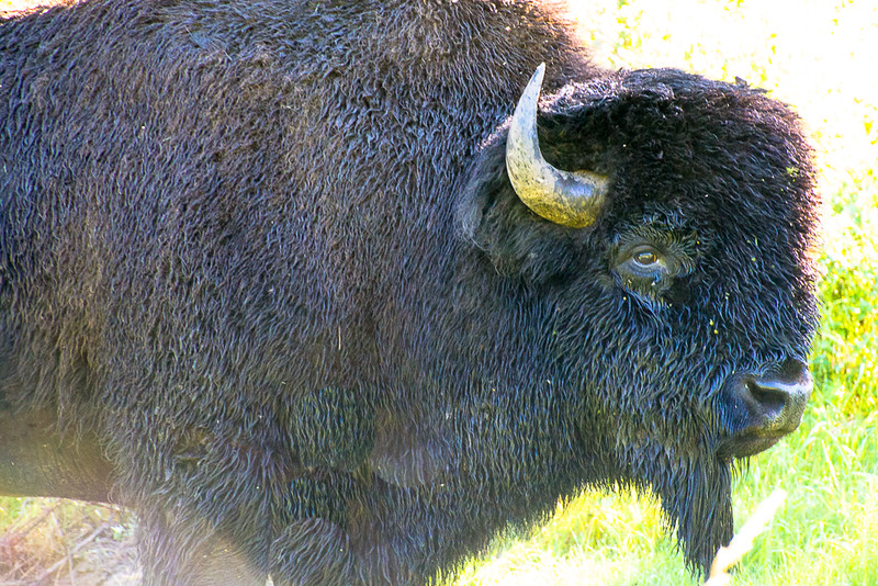 Plains bison up close in Elk Island National Park