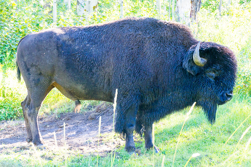 Elk Island National Park: One of the Best Places to See Bison