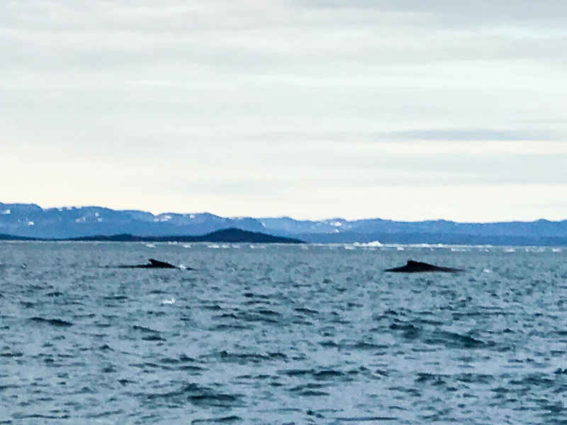 You'll likely see several species of whales, including humpbacks on your Arctic adventure.