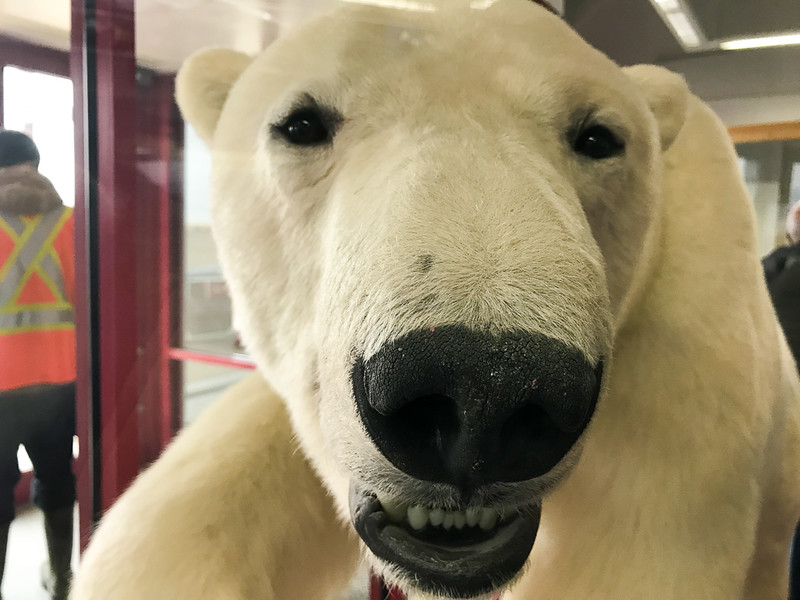 This stuffed polar is at the airport in Resolute Bay in Nunavut. You can see real ones on your Arctic adventure.