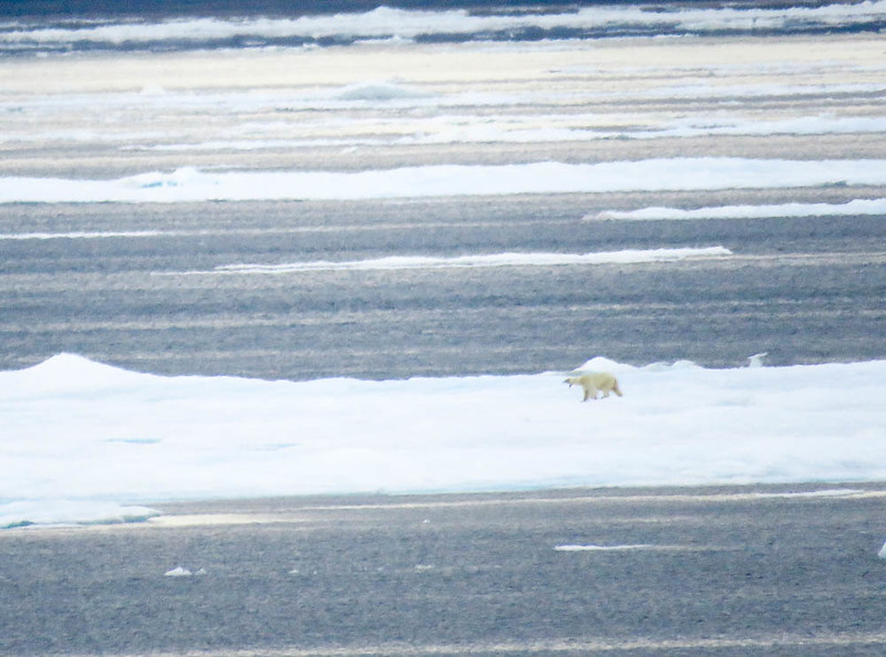 First polar bear sighting on our Arctic adventure
