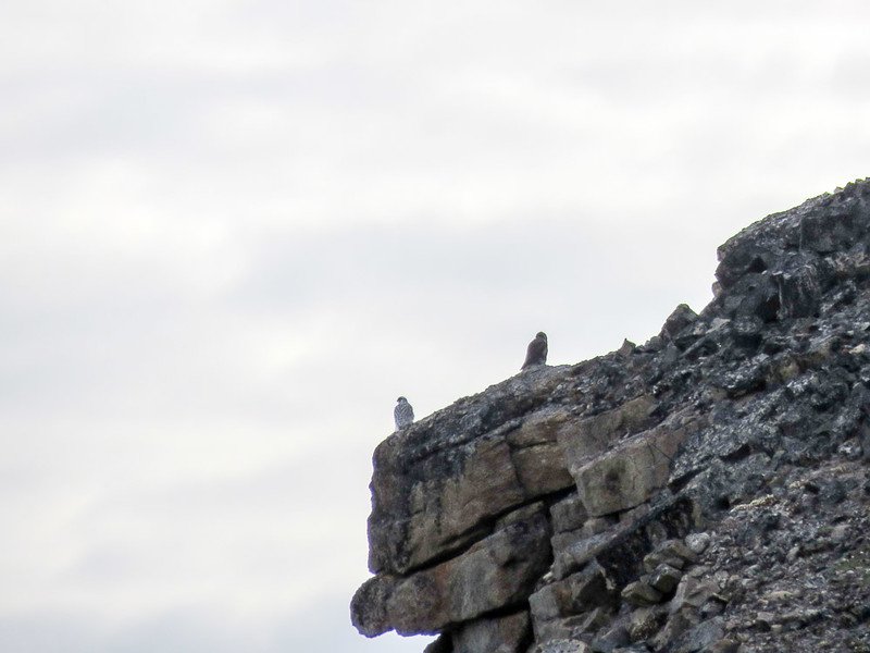 We saw a male and female Gyr Falcons on our Arctic adventure.