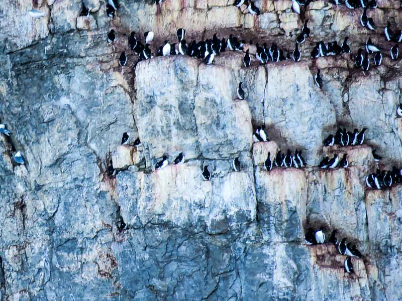 Birders loved the zodiac expedition to Cape Hay to observed Thick-billed Murres