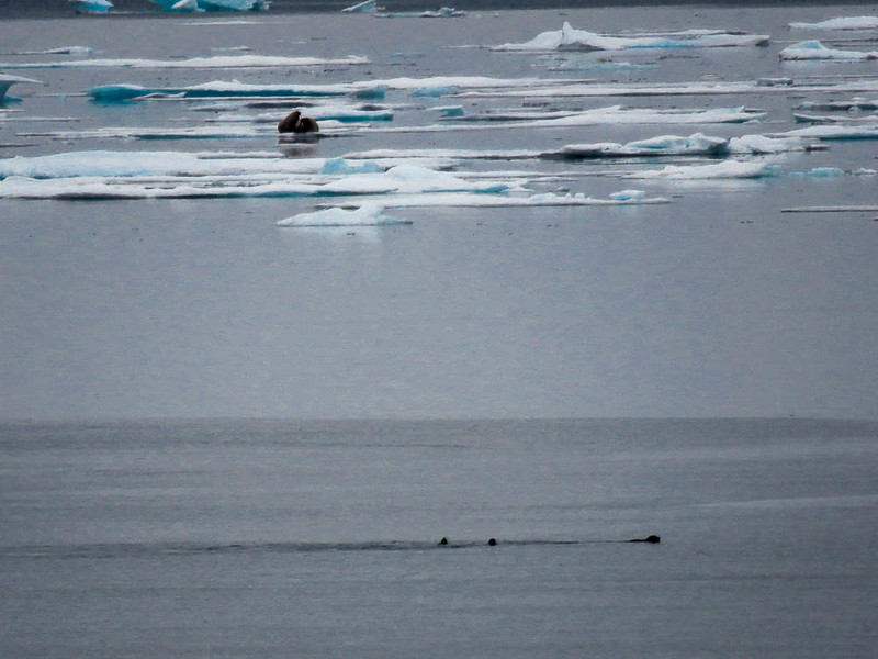 See walruses was one of the highlights of this Arctic adventure