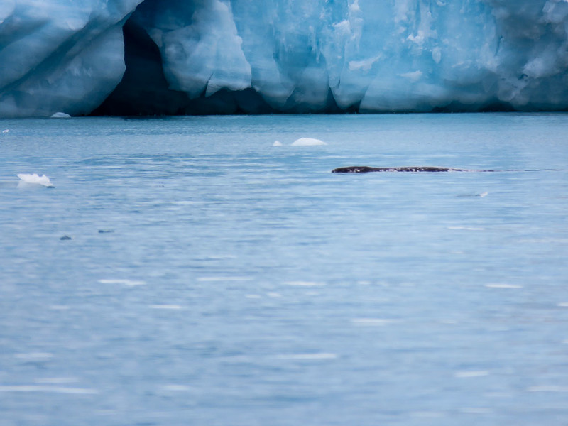 Seeing Narwhals (whales with the long tusks) was one of the top moments of our Arctic adventure.