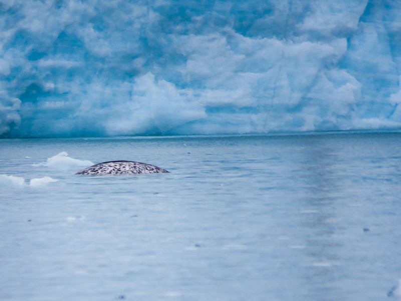 We saw a pod of Narwhals (whales) on our Arctic adventure.