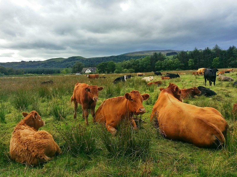 Day 1 of hiking the West Highland Way I saw more cows than people