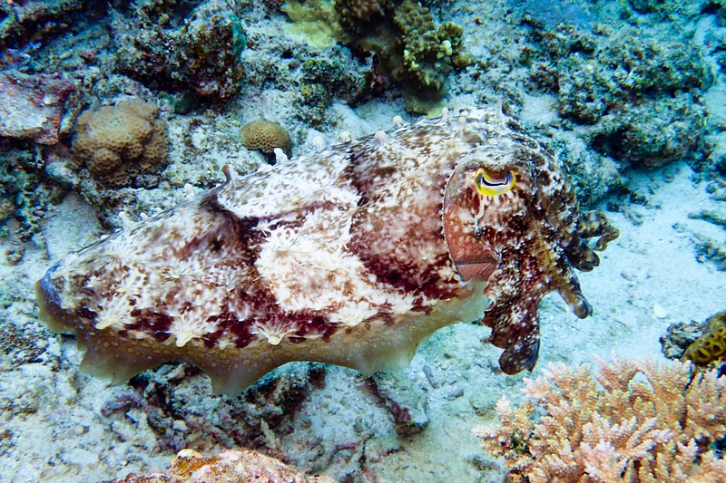 squid seen while diving in Keramashoto National Park, Okinawa