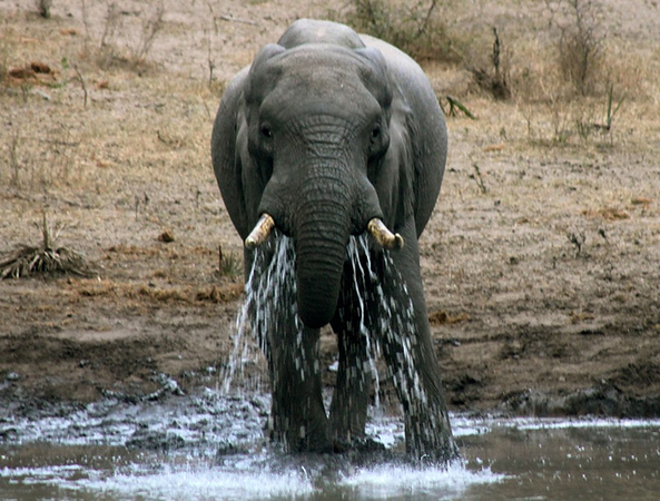 Elephant at watering hole in Tembe Elephant Park, South Africa.