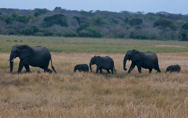 Elephant herd, including two newborns in Tembe Elephant Park, South Africa.