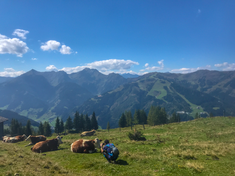Hiker taking photo of Alpine cows.