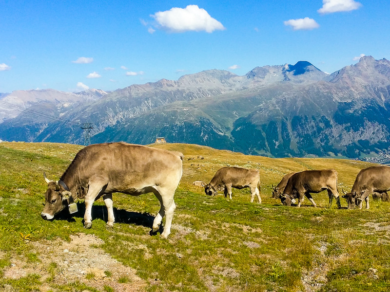 Cows grazing in the Engadin mountains in Swizterland.