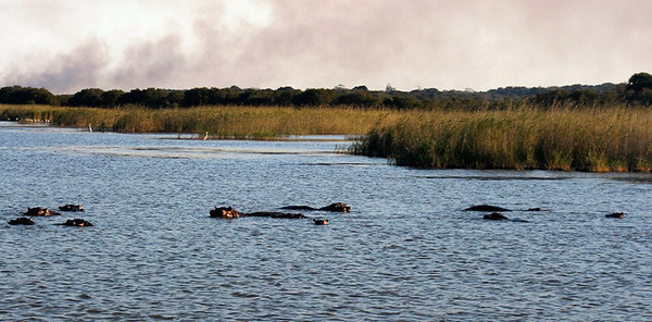 Hippos seen in iSimangaliso Wetland Park, South Africa
