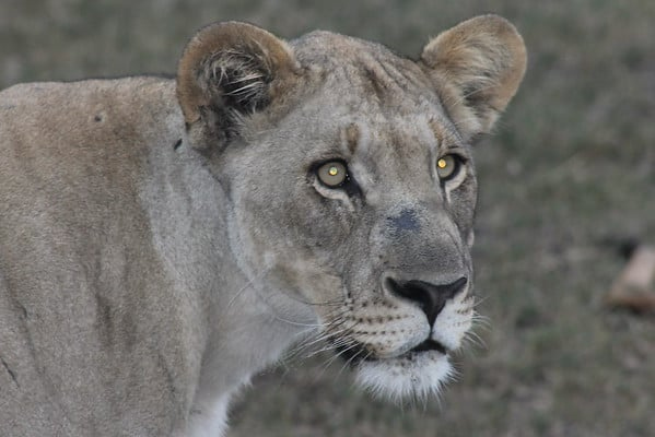 Watching a lioness hunt was a higlight of my African adventure in South Africa