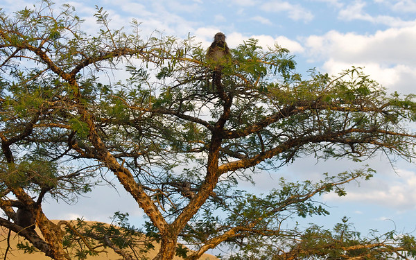 south african wildlife baboon tree